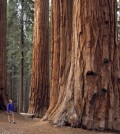 Sequoias could become extinct