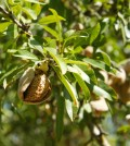 Almond farms: the next aquifer recharging solution?