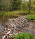 Beavers: the solution to the drought?