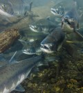Egg injections: the key to saving California's salmon population?